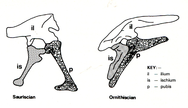 Diagram of Ornithischian Pelvic Bone Configurations