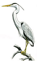 Picture of a Heron which is the symbol of wootton Bridge
