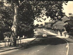 Plane tree (about 160 years old) and view up High Street circa 1950