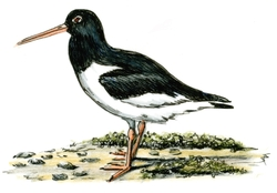 Drawing of Avocet
