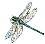 Drawing of Dragon Fly