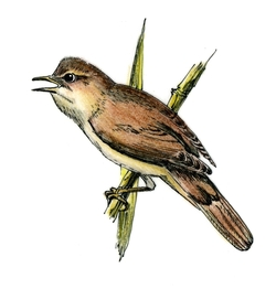 Drawing of Reed Warbler