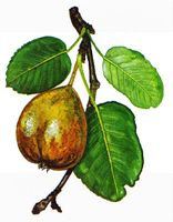 Drawing of Wild Pear