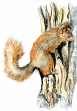 Drawing of Red Squirrel