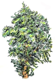 Drawing of Wild Pear Tree